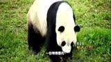 私人訂制20140511-超萌熊貓放歸山林遇阻[超清版]
