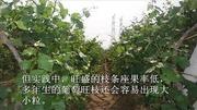梨树栽培技术 黄冠梨树背上枝的修剪 视频
