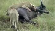 動物世界:獵豹和獅子大打出手,為了爭奪一只斑羚