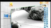 video_20170829_母鼠咬公鼠