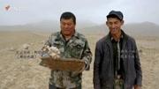 央視記者在阿拉善梭梭樹旁挖沙漠人參, 牧民憑肉蓯蓉增加收入