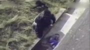 1岁宝宝出生就被拐,意外掉进大猩猩笼子,没想认猩猩当了妈