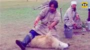 澳大利亞:農場主剃羊毛技術一流!綿羊裸奔請勿圍觀!