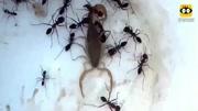 蝎子vs黃蜂,蝎子吃食物很講究,很大的一只寵物蝎