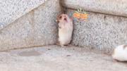 失去妈妈的仓鼠宝宝,现在只能靠我悉心照料它长大!