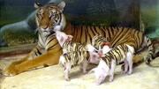 10個已經滅絕物種,滅絕前的動物影像,極其稀少罕見