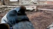 银背大猩猩若和狮子打架,谁能干过谁?两者相遇会是这样的景象