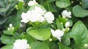 """幾種材料兌成""""開花水"""",每月給茉莉花喂一次,花開滿盆"""