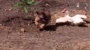 动物攻击动物世界惊人猴子和蛇之间的战斗,结局让人意外