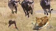 猞猁追殺狐貍,看得我心驚肉跳,比動物世界刺激