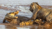 動物世界:猴子偷襲獅子寶寶!母獅趕來營救小獅子
