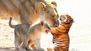 益智啟蒙色彩早教, 獅子熊媽媽摘果子給寶寶吃 益智動畫學顏色