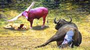 殊死戰斗 3只獅子殺死小水牛 引來水牛群猛烈報復