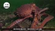 饑餓的鯊魚世界:平頭魚大戰北海巨妖章魚BOSS