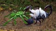 攻擊強防御高 刺猬遇上蝎子直接開干 無視蝎子的劇毒