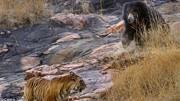 动物世界:狮子和鬣狗格斗,最终会以什么方式结束?