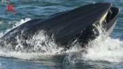 """""""鯨口脫險""""!男子潛水被鯨魚吞進嘴里 屏住呼吸后又被吐出"""