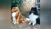 異瞳貓享受主人的熱情壁咚