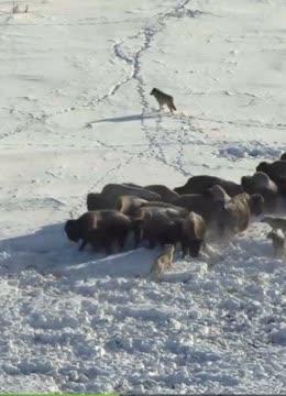 寒冬雪地上演狼群和牛群的战斗!狼反被野牛践踏,镜头记录全过程