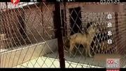 河北农村大型宠物市场,一只黑狼犬卖1500,大家看值不值?