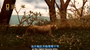 慘絕人寰——鬣狗捕食水牛 動物世界