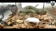 五毒之首蟾蜍 一点没错 看了这个视频你就知道为什么了