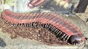 蜈蚣到底有多少只腳?