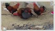 老獸醫從公雞眼里擠出幾十只寄生蟲,雞居然沒死!主人連喊佩服