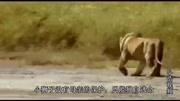 小獅子和獅子王爸爸藏貓貓,下一秒雄獅的反應 真是想不到!