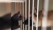 狗狗搞笑;2018-4月最可爱爆笑小小德国狼犬合辑,超无厘头的小幼犬集锦保证笑翻