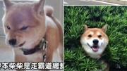 狗狗搞笑;谁说柴犬不呆萌?这几只超蠢呆的柴柴保证让你心融化!