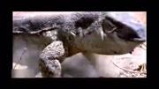 平头哥蜜獾惹恼了狮子,被雄狮咬死