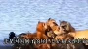 鬣狗單挑老虎,鬣狗基本頂不住半招