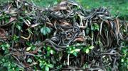 蜥蜴爬到樹上想捕食蛇,還沒行動,下一秒,蛇居然飛了!