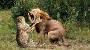 憤怒雄獅接連咬死三只幼獅