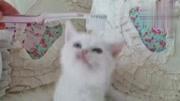 被主人那牙刷梳毛,短腿小猫气得挥舞爪子狂挠