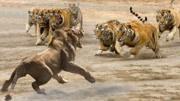 真的像布法羅那樣堅強! 時刻獅子被布法羅擊敗 -真正的動物世界