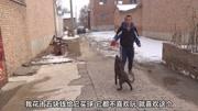 寵物市場:4個月大的馬犬600元 聰明伶俐招人喜歡