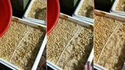 """""""君子兰""""的花期养护,以及种子的培育形成,为明年的育苗做准备!"""