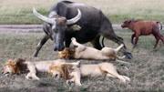 水牛群VS獅子家族,這兩族群相撞,竟然會是獅子被打敗