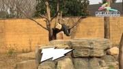 長頸鹿:非洲溫和的巨人