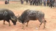 贵州斗牛赛:小牛敢迎战8年神抠名牛,原来有自己的绝招