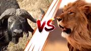 罕見的黑豹襲擊蟒蛇,這是最好看的動物世界!