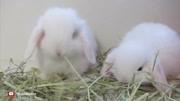 小兔子乖乖 --寶寶巴士