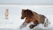 胖棕熊決定使出苦肉計,支開笨狼沒想到笨狼遲遲不走急壞了胖棕熊