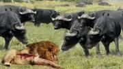 狂野动物世界彪悍孟加拉虎大战三头雄狮,不愧是顶级猫科猛兽