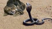 母白条锦蛇进食全过程