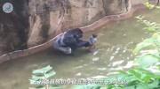 太惊险了!五岁小男孩掉进猩猩园