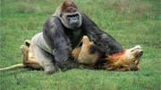 母獅摧毀10只野狗拯救獅子幼崽 - 史詩般的戰斗! 野狗與獅子!