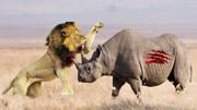 獅子巧遇蟒蛇,蟒蛇竟主動出擊,咬在獅子的臉上!